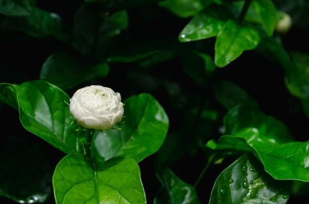ジャスミンの花のクローズアップ