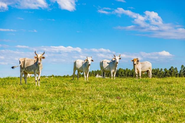 Бразильский козел на пастбище