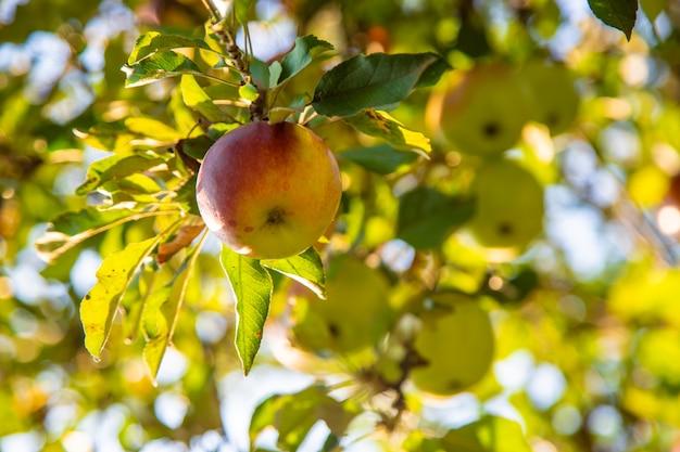 りんごは庭の木に生えています。セレクティブフォーカス