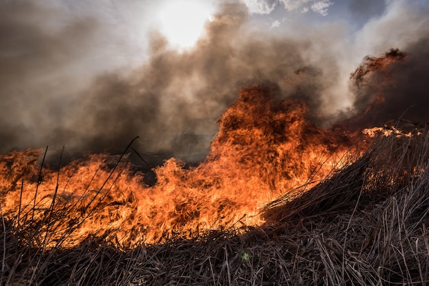 葦を発射します。日没時の火で成長している葦を乾燥させます。