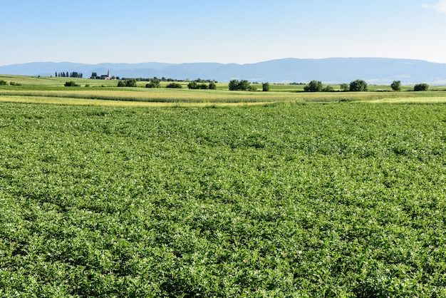 Поле картошки на лете в румынии, трансильвании.