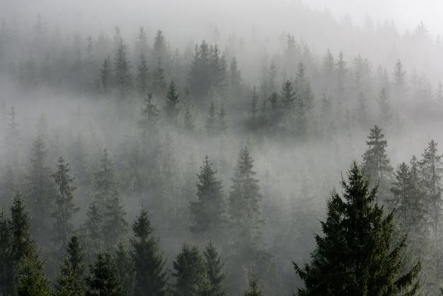 朝の霧の密な松林。霧の松林。