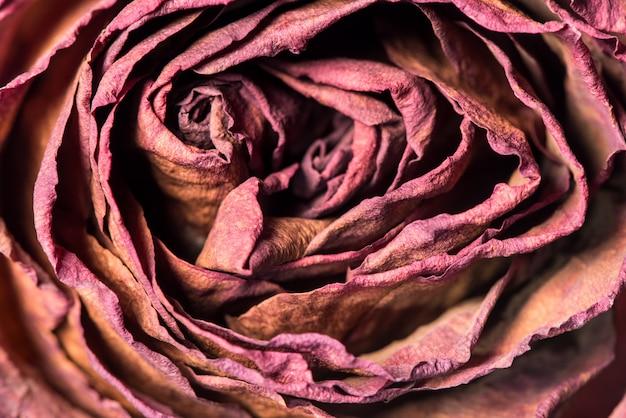 乾燥した赤いバラの花のクローズアップ。