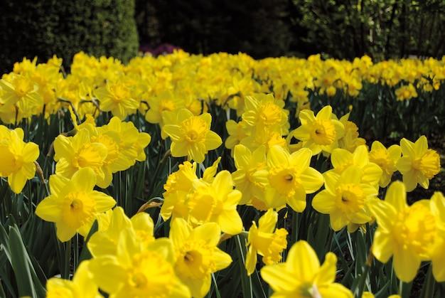 黄色の水仙の畑