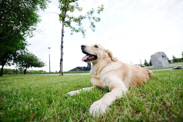 草の上に横たわるレトリーバー犬