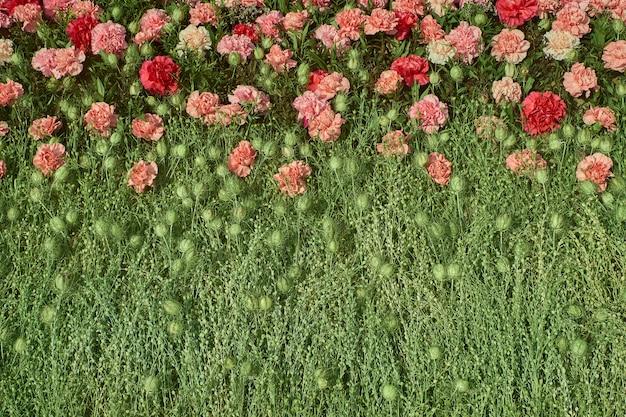 カラフルなカーネーションの花の背景。上面図