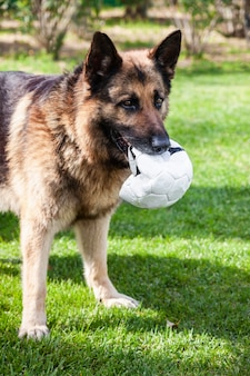 口の中にサッカーボールを持つジャーマンシェパード