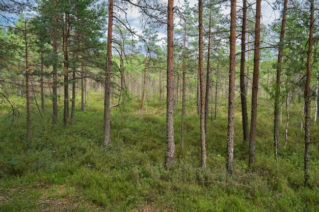 松林のシーン。ラトビアのケメリ国立公園