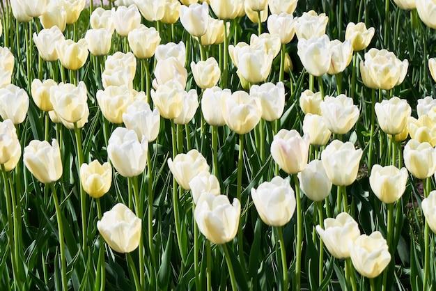 夕暮れ時のチューリップ畑に咲く白いチューリップの花。自然の背景。