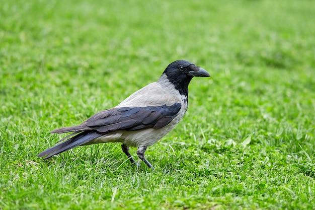 Большая дикая ворона на зеленой траве в парке