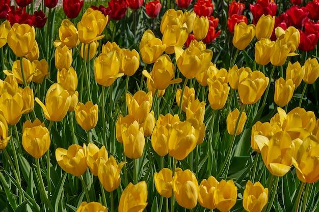 黄色のチューリップの背景。庭の花。