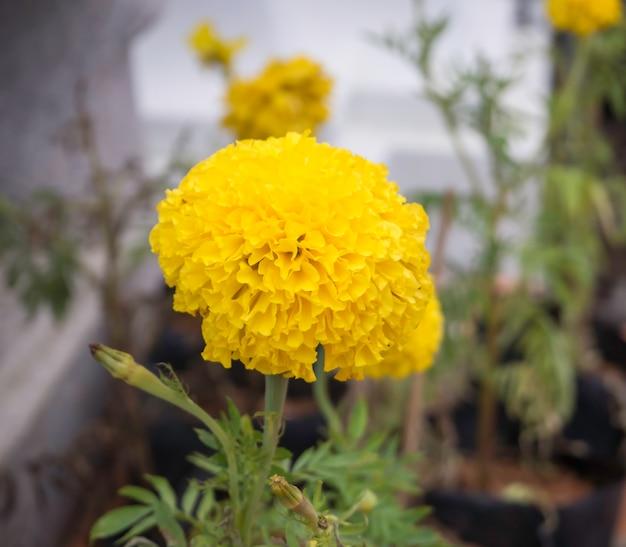ぼやけたマリーゴールドの花のクローズアップ