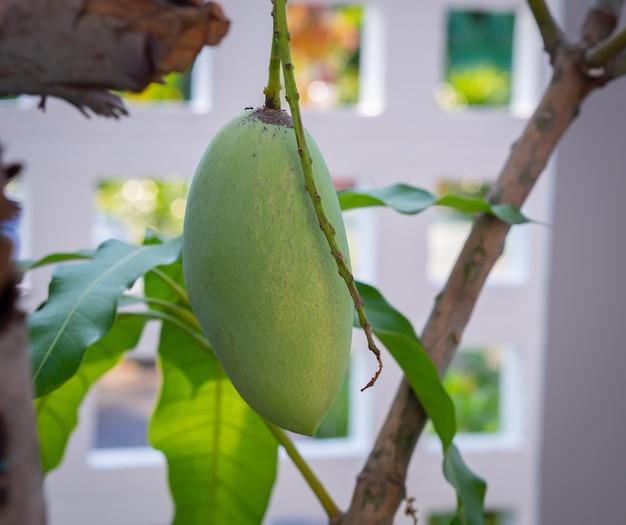 マンゴーの木の枝と葉
