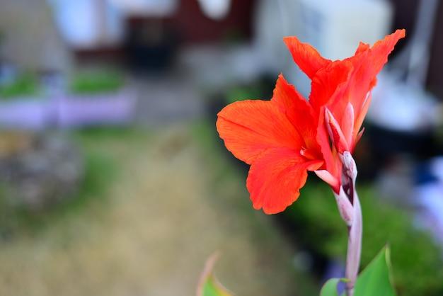 背景をぼかした写真の赤いカンナの花