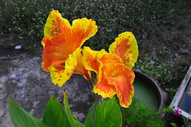 オレンジ咲くアジアカンナの花と黄色
