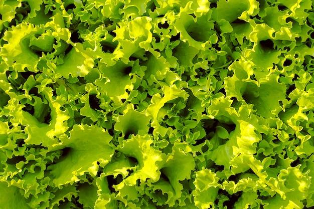巻き毛の緑のレタスは庭のベッドにクローズアップ