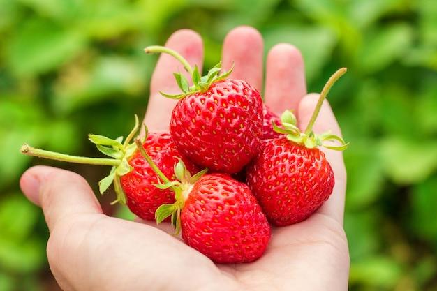女性の手のひらに赤の熟したイチゴ