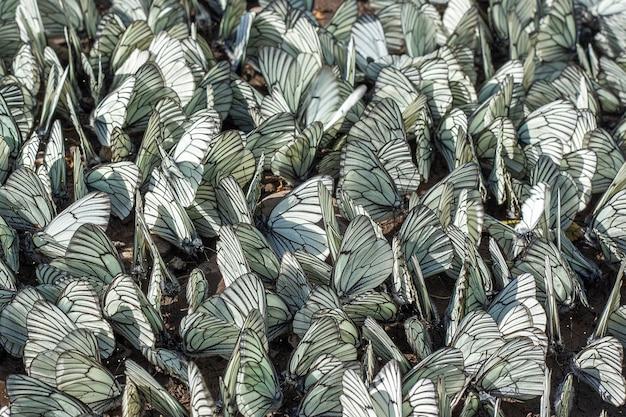 地面に蝶の大群。侵入害虫と作物の破壊農業の収穫