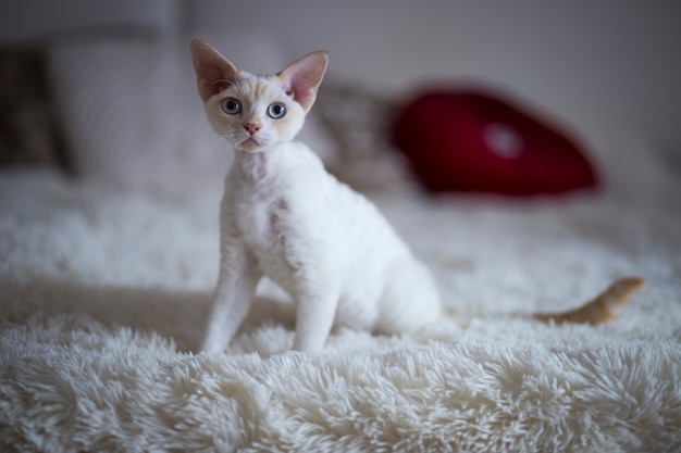 部屋のベッドの上に座っている白猫