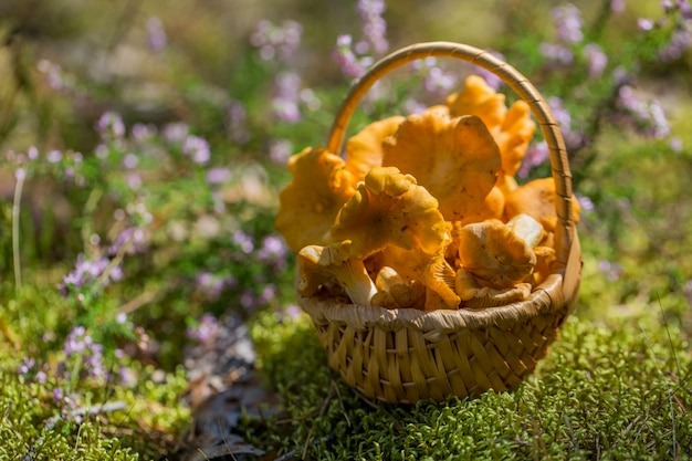 森の空き地で太陽の下で枝編み細工品バスケットでキノコのアンズタケ