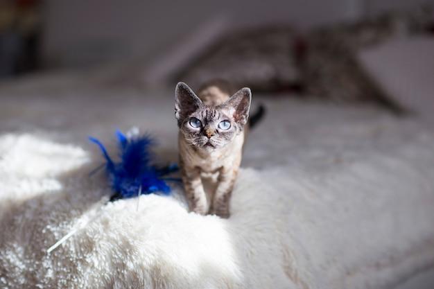 デボンレックス猫は晴れた日にベッドの上に立って、彼女のおもちゃは近くに横たわっています