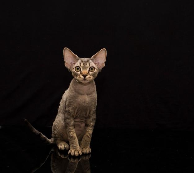黒の背景の子猫デボンレックス