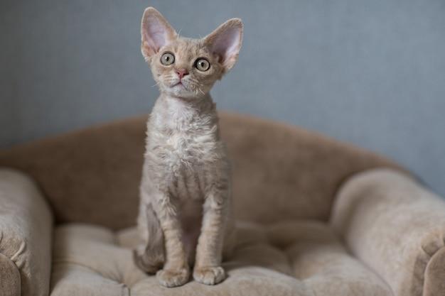 ソファに座ってデボンレックス子猫