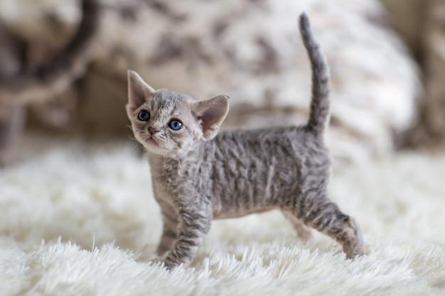 灰色の子猫デボンレックスはベッドの上