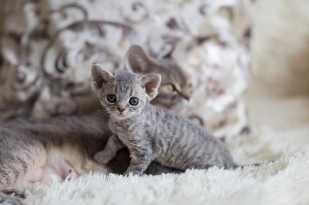 猫のお母さんのデボンレックスと子猫は部屋のベッドの上にいます