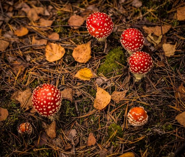 秋の森にたくさんのベニテングタケ