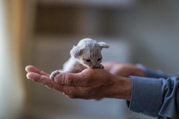男の手の中に小さなデボンレックス子猫が座っています