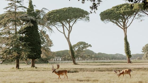 ミリアリノサンロッソレマッサシクーリ、イタリアの自然公園の美しい若い鹿のクローズアップ
