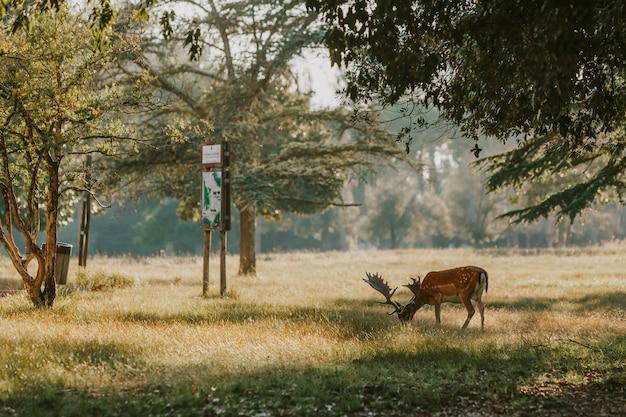 Крупным планом красивых молодых оленей в природном парке мильярино сан россоре массачукколи, италия