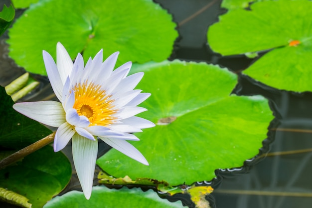 ホワイトウォーターリリーの池