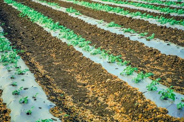 インドの近代的なスイカ養殖技術