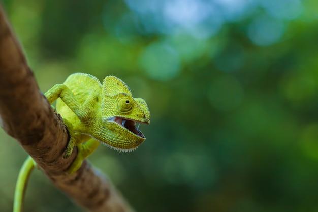 Зеленый хамелеон индия
