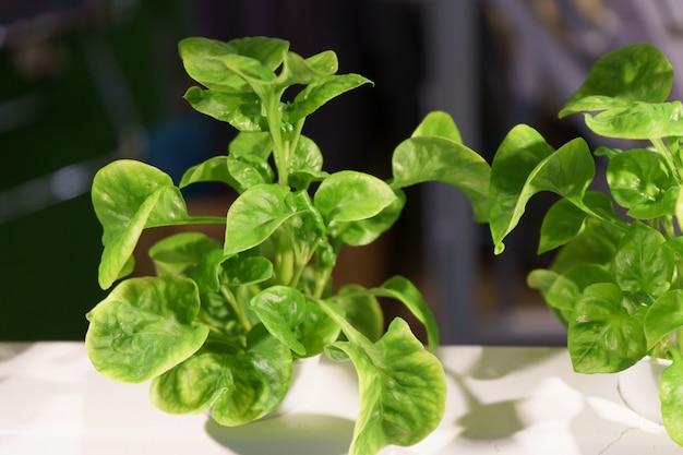 Молодой и свежий органический урожай овощей гидропонный сад