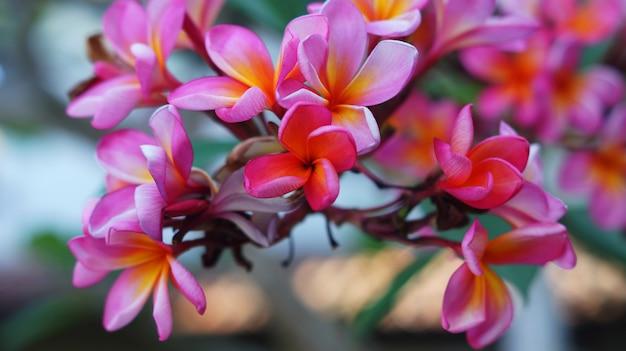 赤いフランジパニの花の写真