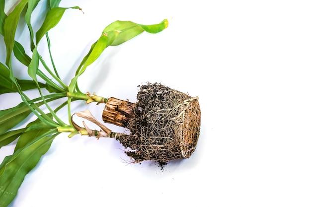 大きくて粗い幹を持つ鉢植えの花の移植。花の根は彼が成長した鉢の形をとりました。