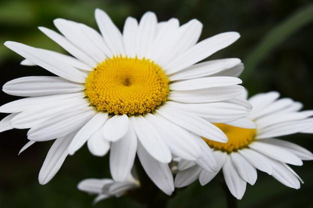 Ромашка цветы природа