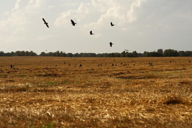 カラスの群れが秋の畑を飛びます。
