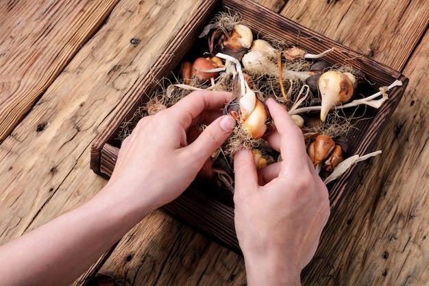 Набор луковицы тюльпана