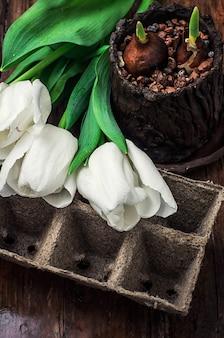 白い背景の上の発芽の球根新鮮なカットチューリップ