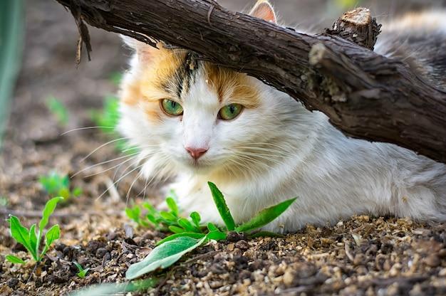 ブドウの樽の後ろに隠れて、地面に横たわってふわふわの猫。