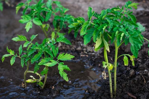 茂みはトマト前払い水を植えました