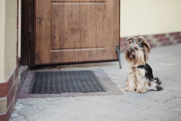 孤独な犬のテリアが、通りのドアで飼い主を忠実に待っています。ペットのコンセプト