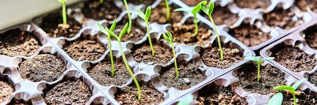 キュウリ、カボチャ、スイカの苗が栽培トレイで成長しています。