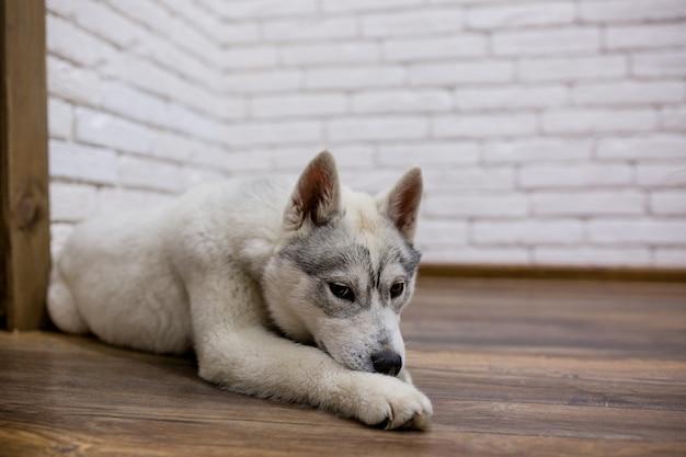 Щенок сибирской хаски дома лежит на полу. образ жизни с собакой