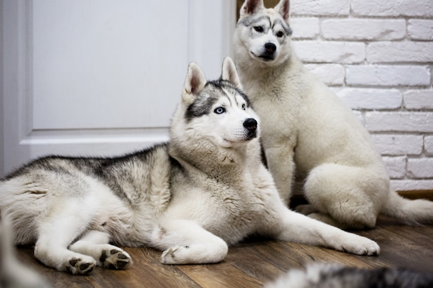 Сибирская лайка дома лежит на полу. образ жизни с собакой
