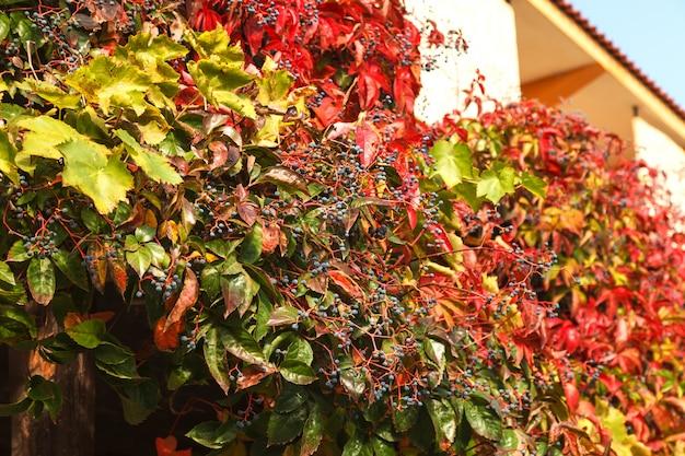 野生ブドウ自然秋の背景の色鮮やかな葉の壁